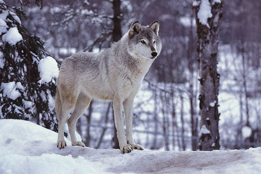 Happy Wallpaper Gray Wolf Background
