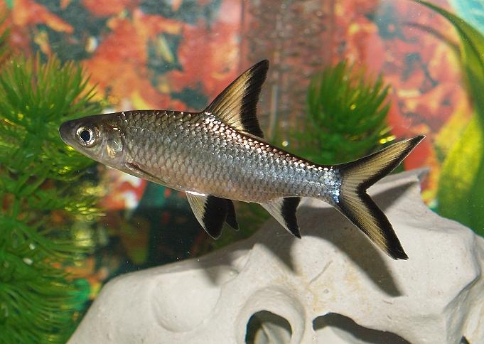 Bala shark fishes for Shark fish pet