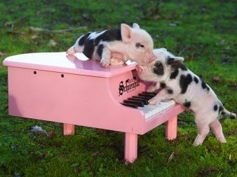 Pink baby teacup pigs - photo#24