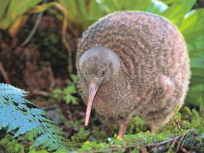 Kiwi Bird Pictures