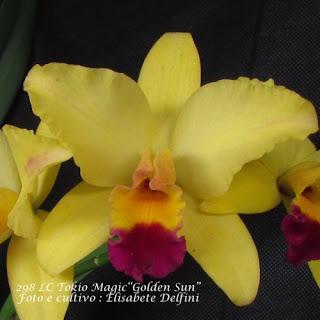 """LC Tokio Magic """"Golden Sun"""" do blogdabeteorquideas"""
