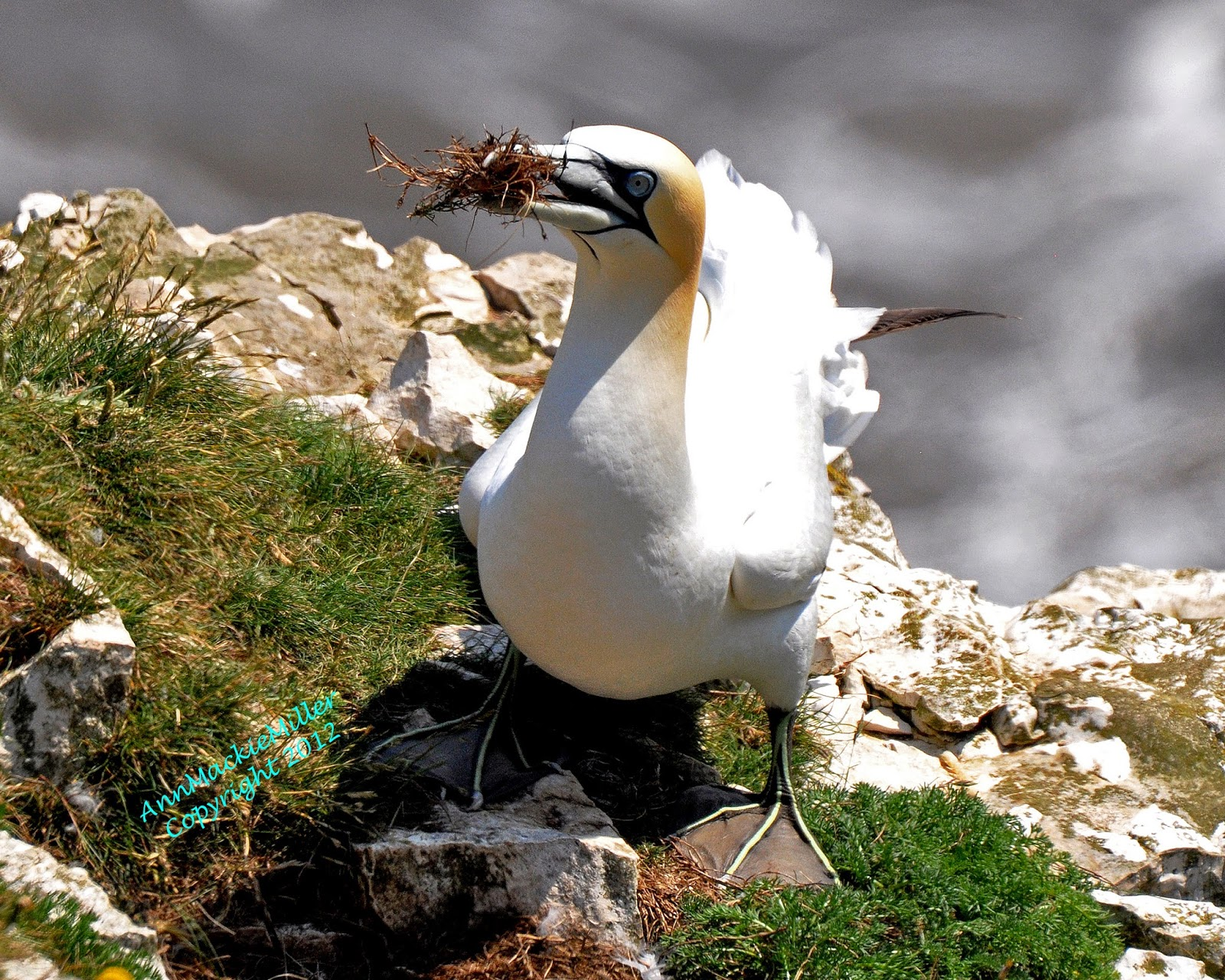 adult gannet with grass in his beak
