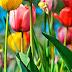 Colorful Tulips photos images free download