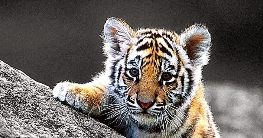 Cute tiger cub hd wallpaper all wallpapers desktop thecheapjerseys Image collections