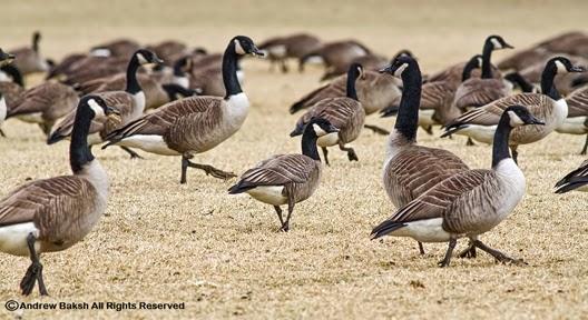 canada goose bronx
