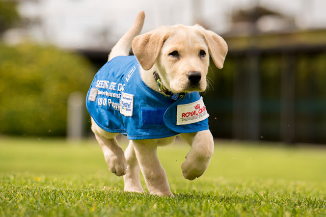 seda-seeing-guide-dogs