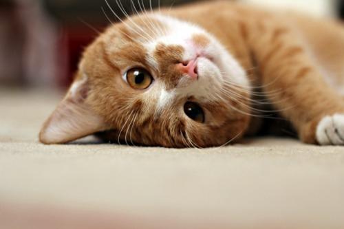 Nabi Muhammad SAW memiliki seekor kucing yang diberi nama Mueeza.