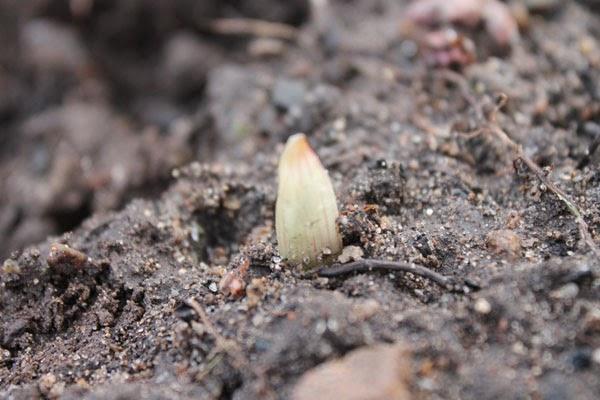 L'aglio spuntato da sotto terra