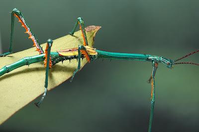 foto: bicho palo achrioptera fallax