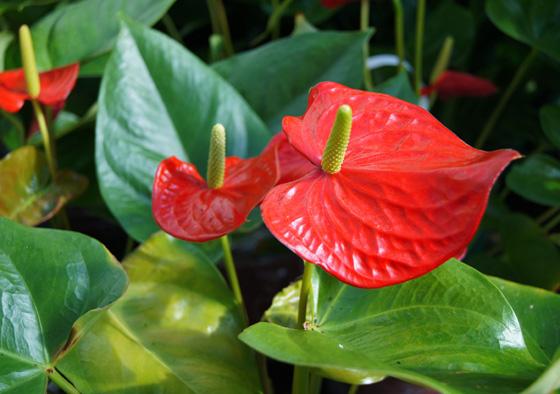 Flores ornamentales con sus nombres imagui - Planta cuna de moises ...