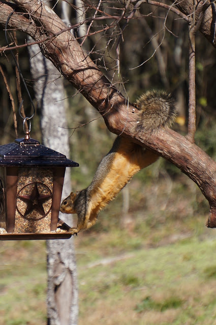 Fox Squirrel at the feeder