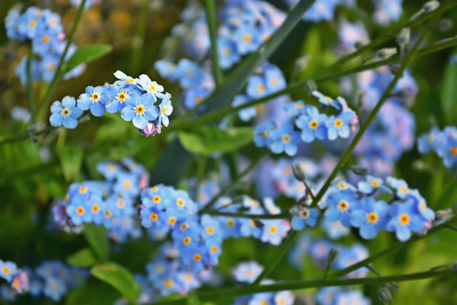 flowers, spring, blossoms, blue, forget-me-nots