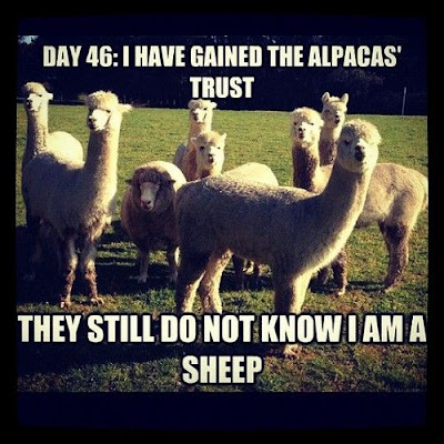 alpacasheep.jpg