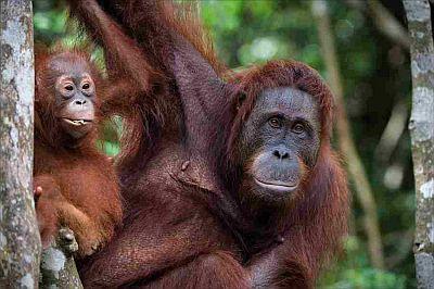 Oranghi Borneo Malese