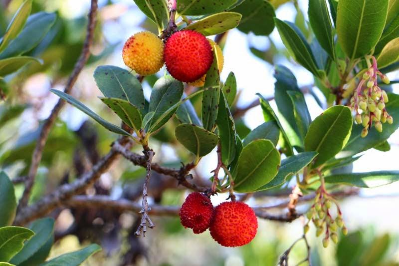 L 39 arbouse du pays cathare - Fruit de l arbousier ...
