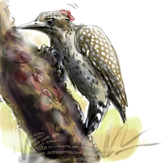 Checkered Woodpecker sketch painting. Bird art drawing by illustrator Artmagenta