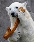 100 funny polar bear pictures