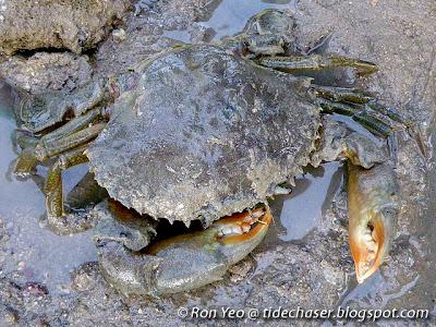 Green Mud Crab (Scylla paramamosain)