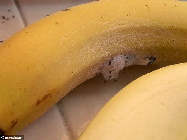 śmiercionośne Pająki W Bananach Lejdiz Online Lejdiz Online