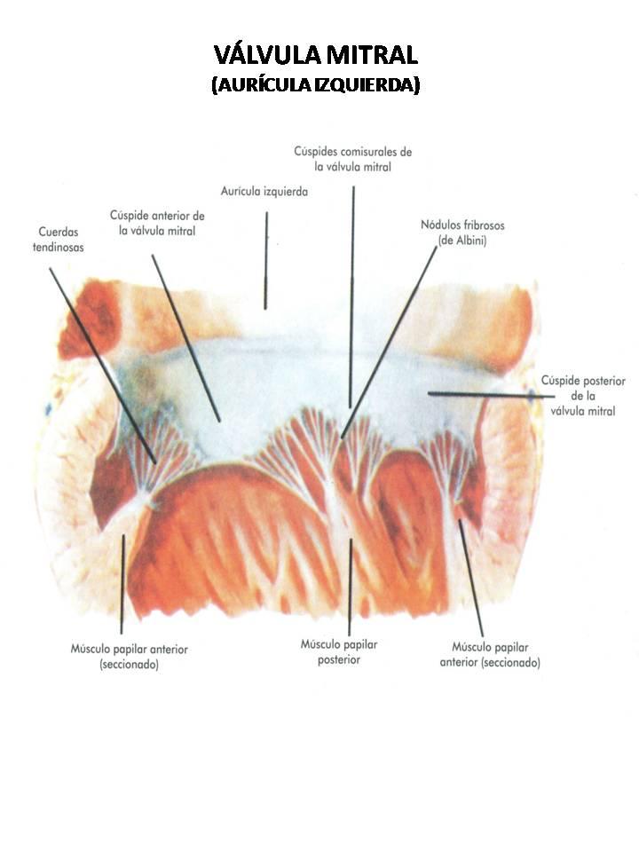 Dorable Válvula Mitral Anatomía Eco Viñeta - Anatomía de Las ...