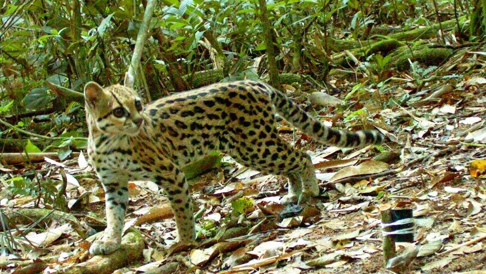 Национальный парк мадиди является одним из наиболее биологически разнообразных регионов нашей планеты