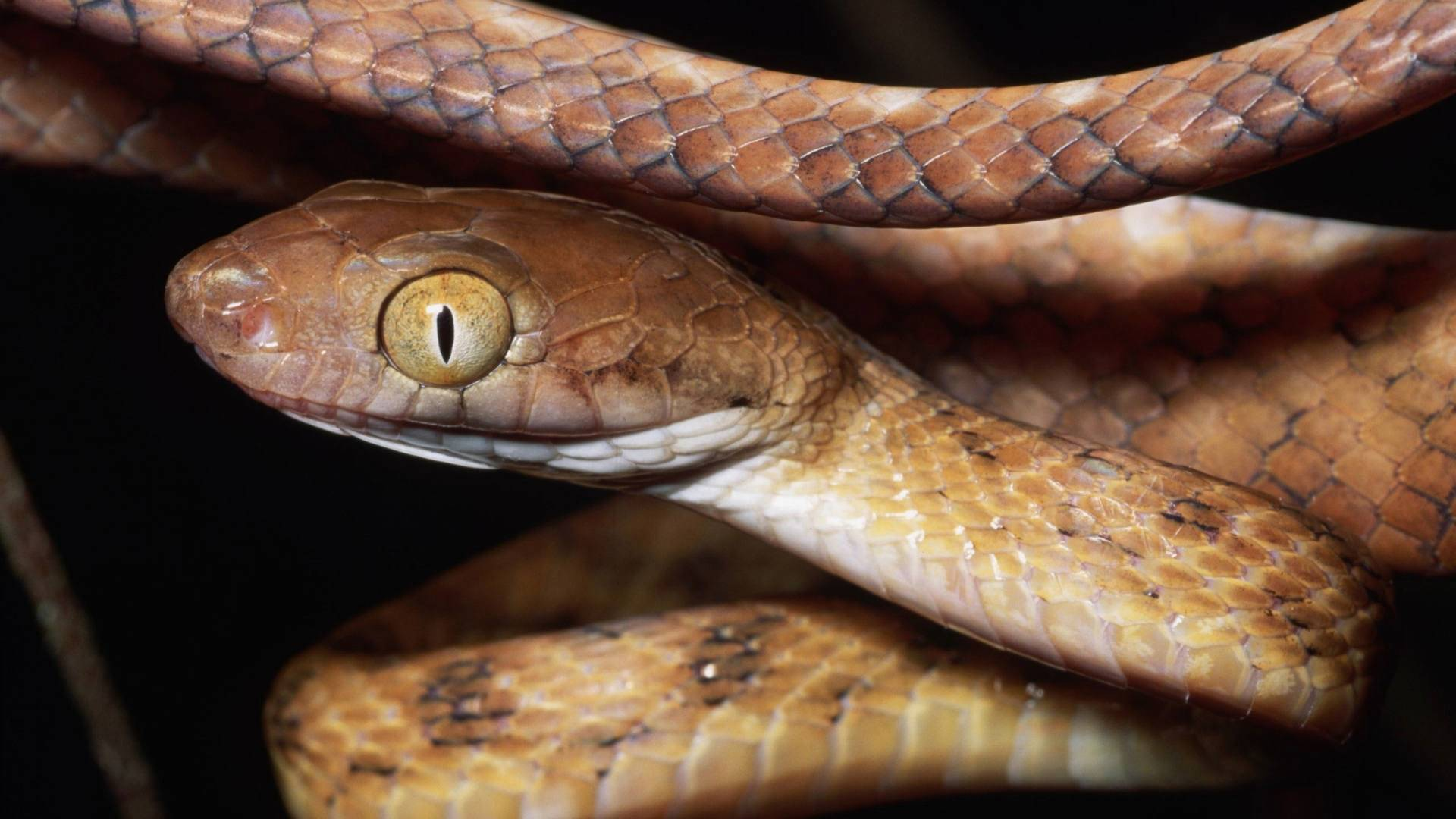 Snake Hd Wallpapers 2