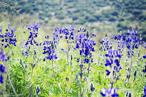 Blue lupine in full bloom on Israel's Lupine Hill
