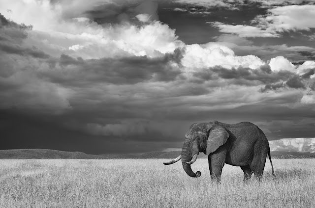Infrared elephant grazing in open and with clouds behind him.