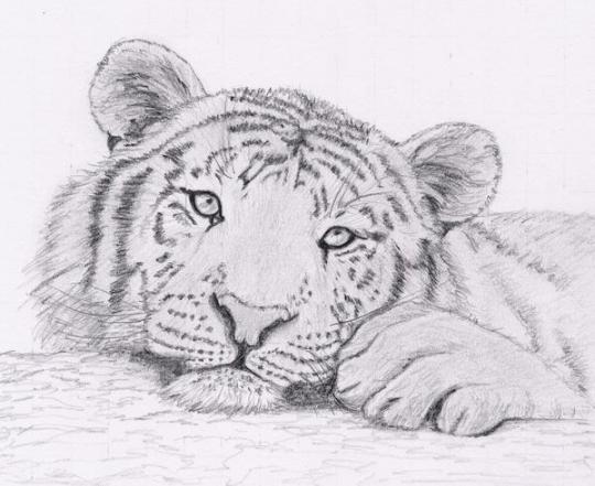 Tigre touchant gn s - Dessin d animaux trop mignon ...