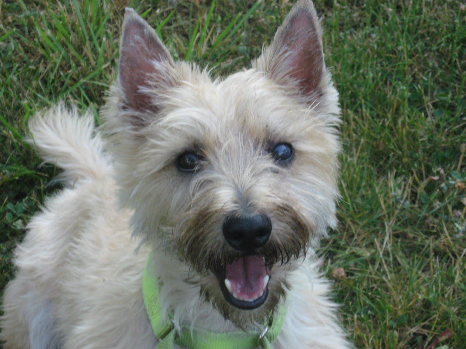 Cairn Terrier Haircut Styles