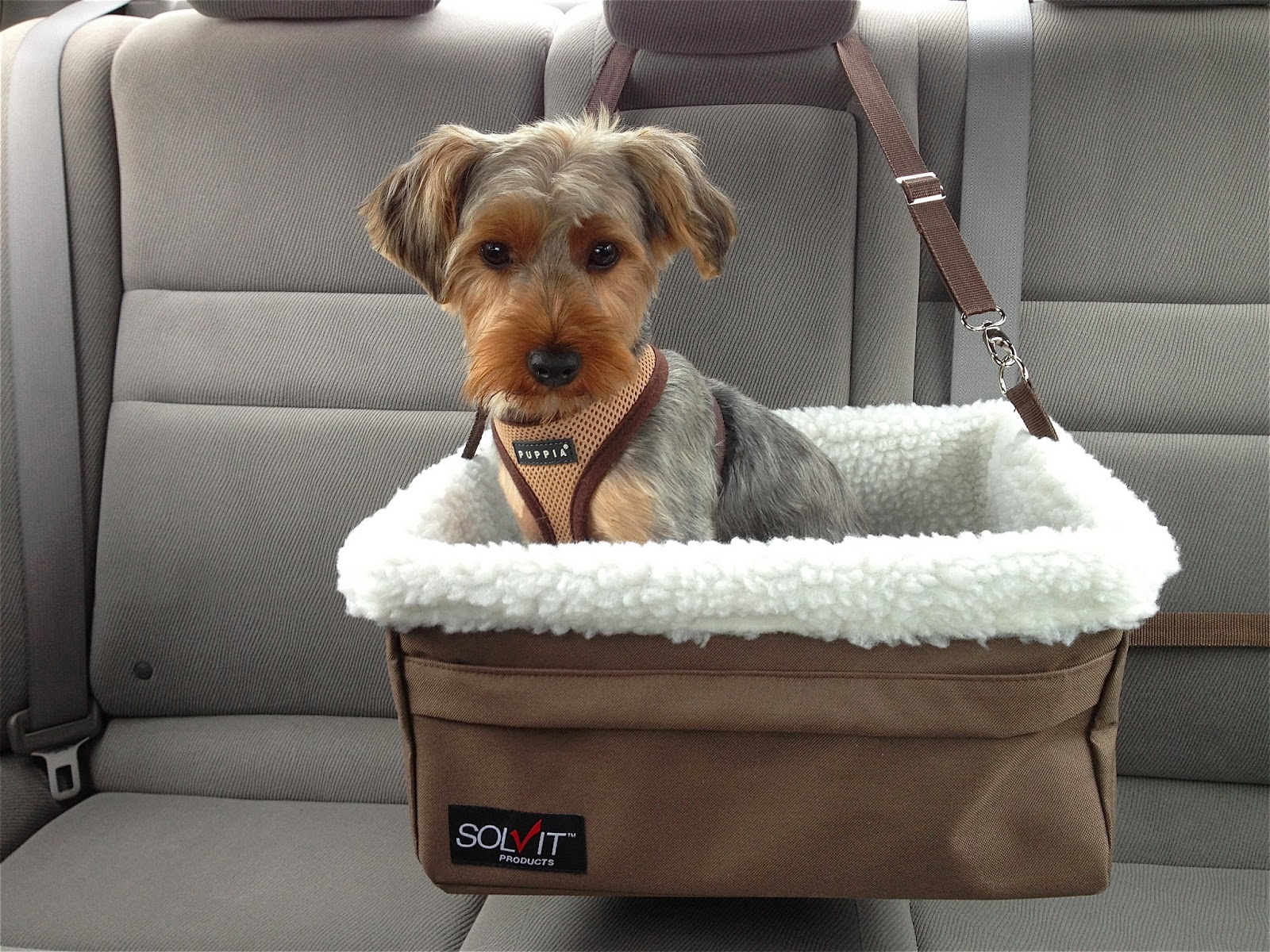 Yorkie In A Car Seat