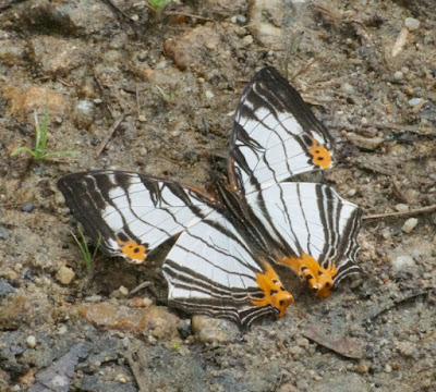 Common Mapwing (Cyrestis maenalis)