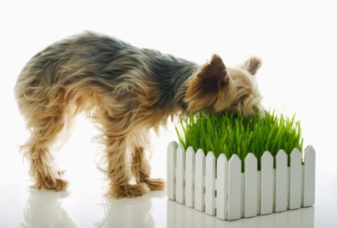 Why Dogs Eat Grass Roots