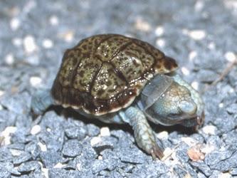Neonato de Homopus areolatus