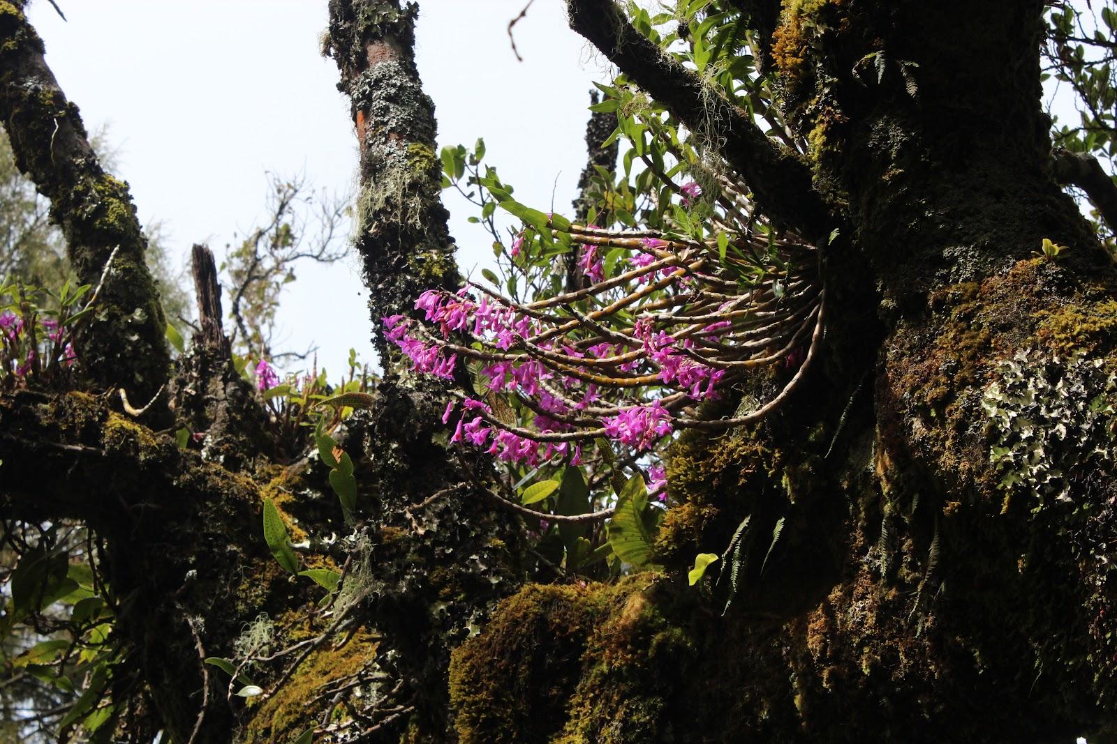 Anggrek Gunung  (© 4.bp.blogspot.com)