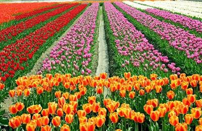 hoa tulip 5