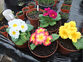 Assorted Polyanthus