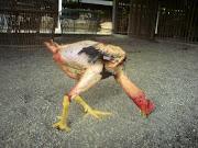 Ayam STROOM