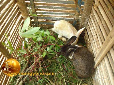 FOTO : Kelinci jantan dan betina di gabungkan dalam 1 kandang.