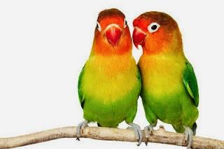 Foto Burung Lovebird Kepala Terbaik