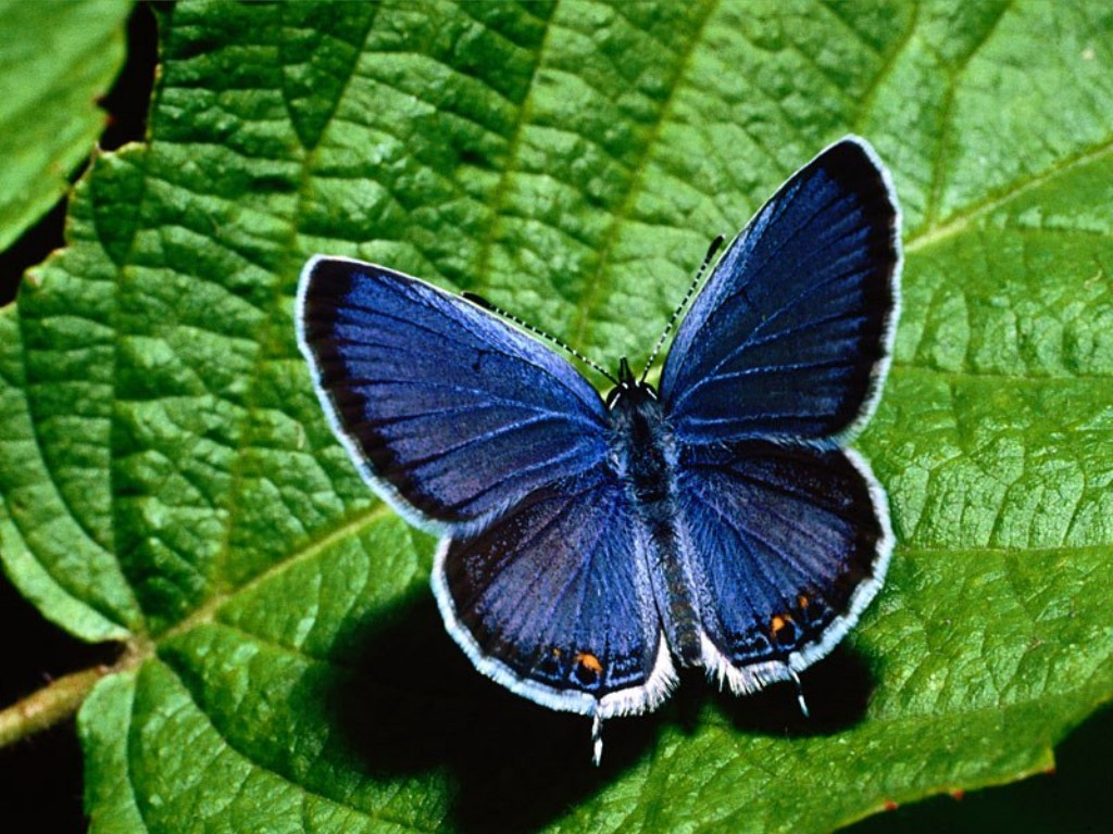 kyodai butterfly