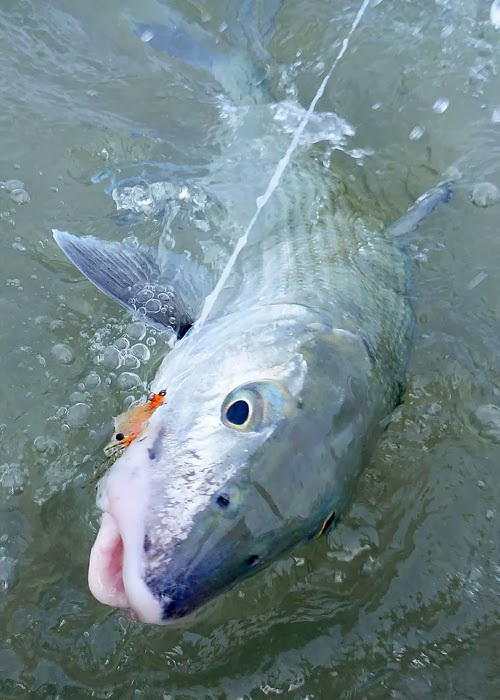 Abaco bonefish in your face