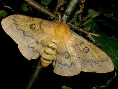 Perisomena caecigena female