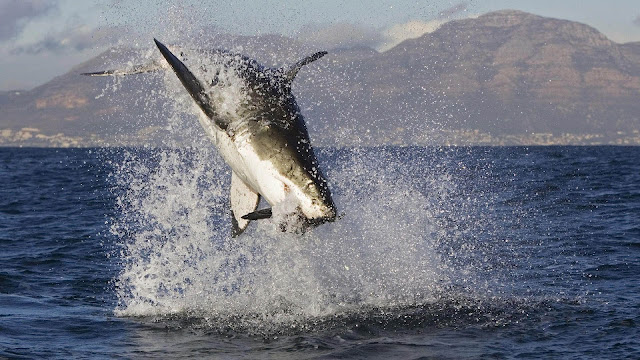 Wallpaper of a attacking great white shark
