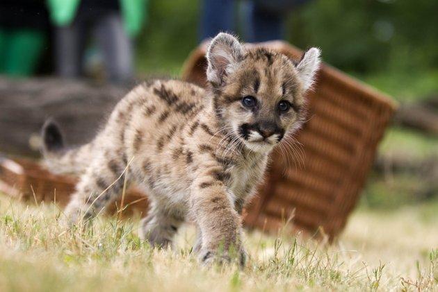 seven-week-old_puma_cub