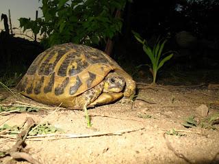 tortue d'Hermann à Aullène en Alta Rocca