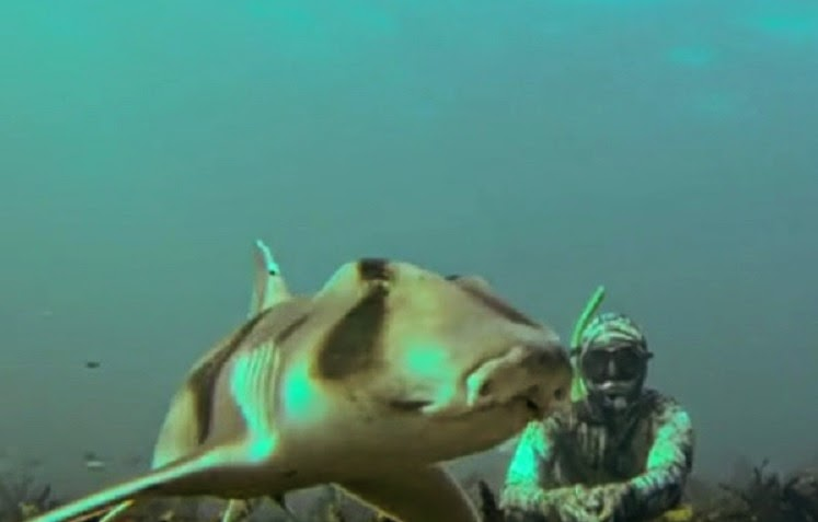 Port Jackson shark  (bullhead shark) swimming along in Gordon's Bay Sydney Australia