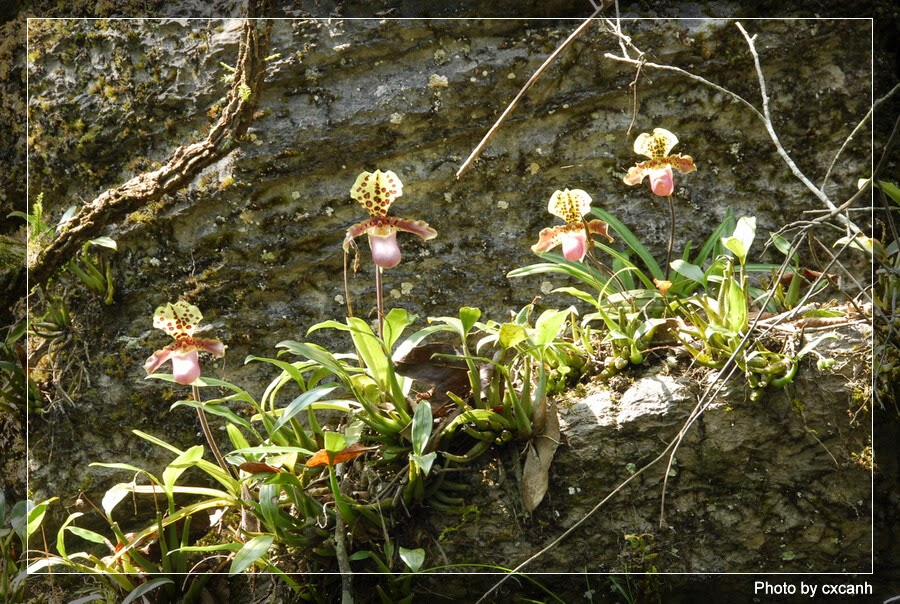 Get To Know All About Paphiopedilum Orchids Orchid Man In The