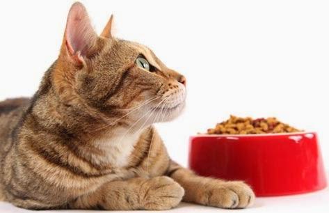 Mèo thường hay bỏ ăn.
