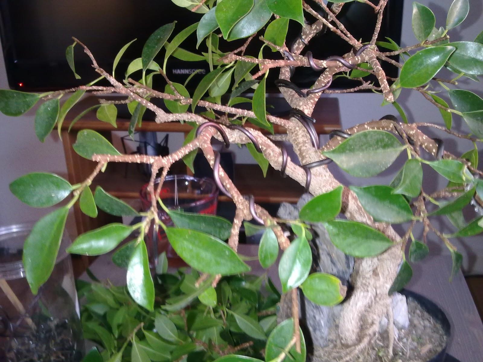 Bonsai | 盆栽 | : Ficus microcarpa, Lorbeerfeige, Gestaltung